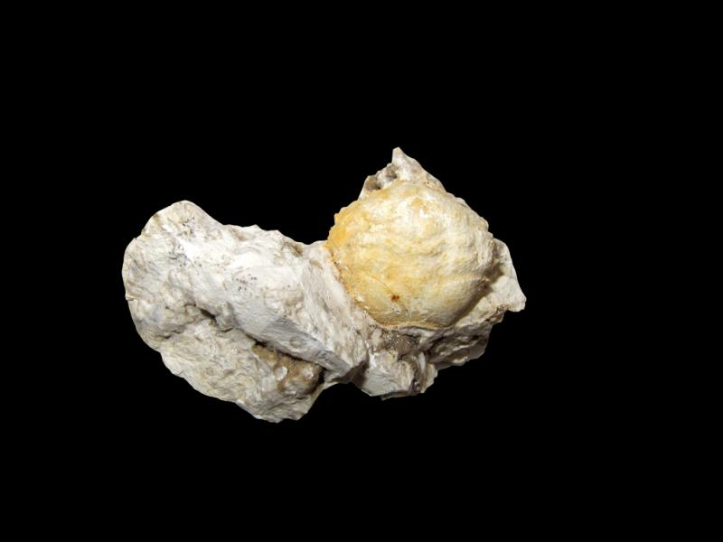 Fossil im Faxekalk: Dromiopsis rugosa